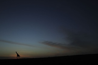 Giraffe at Sunset by Maekawa