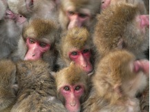 Red Faced Baboons by Maekawa