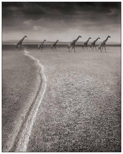 GiraffesMigrationTrail-Nick-Brandt