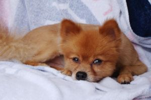 This   photo provided by Ronald Boisvert shows his dog Fox, who went missing from his south Florida condominium