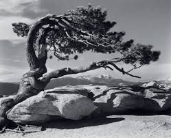 Ansel Adams, Jeffrey Pine, 1940